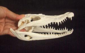 Real Genuine Crocodile Alligator Skull Taxidermy White Head Skeleton 170mm CS036