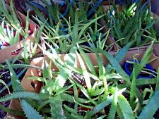 Aloe Vera (x6) Mixed Species Tree Plant Succulent `