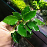 Anubias Nana Long Wavy Curvy Leaf Loose B2G1 Easy Live Aquarium Plant Decoration