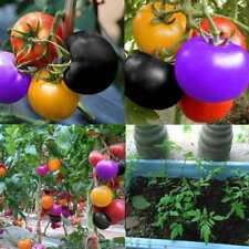 100Pcs Rainbow Tomato Seeds Colorful Bonsai Organic Vegetables Seed Home Garden~