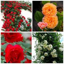 100PCS New Climbing Rose Seeds Rosa Multiflora Perennial Fragrant Flower Bonsai