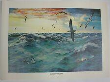 A Host Of Millions Bob Hines Ocean Scene Alaska Seabird Vintage Art Print