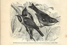Stampa antica UCCELLI USIGNOLO GIAPPONE TORDO MALABAR 1891 Old Antique print