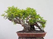 5 X Fraxinus excelsior Ash winterhardy bonsai trees AA