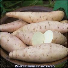 SWEET POTATO WHITE FLESH 4 Stem Cuttings Unrooted With Tiny Buds