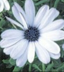 Osteospermum jucundum 'Sky & Ice' FREE DELIVERY ON 5 OR MORE OF ALL PLANTS