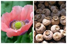 "1000 POPPY "" THE GIANT "" Papaver Giganteum Pink & Purple Huge Pods Flower Seeds"