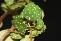 PEPEROMIA HISPIDULA MINIATURE PLANT POTTED