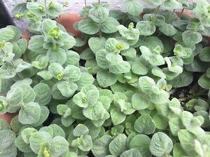 Dittany Of Crete Seeds - Origanum dictamnus