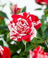 "Rose Bush Parade Gigi Miniature Live Plant Fragrant/Hardy - 4"" Pot Garden Indoor"