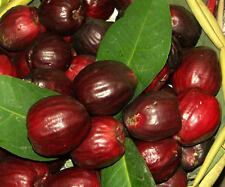 2 seed RED Mountain Apple Fruit Tree Syzygium malaccense  Eugenia malaccensis