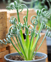 *Rare* Spiral Grass Plant Fresh Seeds Produced in Canada