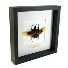 Real taxidermy insect mounted in black wooden frame - Eupatorus Gracilicornis