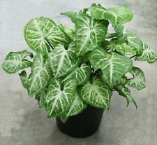 50 Syngonium Liana Vine Seeds Beautiful Garden Potted Decorative Plants in Home
