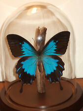 The Blue Mountain Butterfly Dome: Papilio ulysses telegonus,