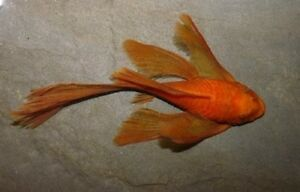Ancistrus sp. Super Red Longfin (Catfish)