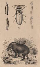Tapir. Taret. Tarière (auger). Taupin (Agriotes lineatus) 1834 old print