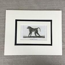 Antique Rock Macaque Monkey Print 18th Century Engraving Buffon Animal Kingdom