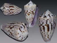 Seashell Conus melvilli Super giant! Endemic. 29.0 mm. Gem!
