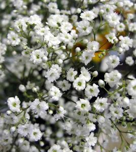 Gypsophila paniculata - mini plug plants UK SELLERS