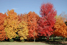 100 x Sugar Maple Tree seeds - Acer Saccharum - Rock Maple