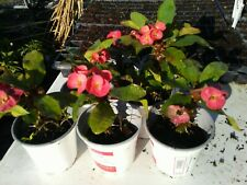 """Crown of Thorns 2 6""""+ live Plants Euphorbia Milli Live Thick Large Flowers"""