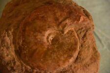 2 ammonites Leioceras opalinum aalénien ombilic présent 96et65 mm avec coquille