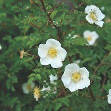ROSA PIMPINELLIFOLIA ScotchROSE Thorny White Flowers 1M Garden Hedge UK Nursery