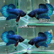 New listing DM27 Imported Live Betta Fish Male Halfmoon Plakat Aqua Blue Fancy USA SELLER