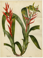 Antique Print-BILLBERGIA LIETZEI-BROMELIA-PLANT-FLOWER-Stroobant-Morren-1881