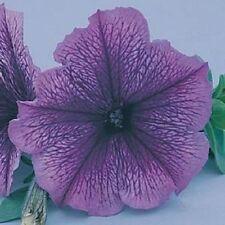 Petunia Seeds Carpet Blue Lace 200 Pelleted Seeds Bulk Seeds