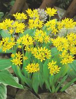 10 x ALLIUM MOLY - garden bulbs perennial Jeannine' YELLOW DIRECT FROM HOLLAND