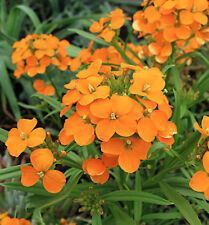Siberian Wallflower Flower Seeds - Garden Seeds - Bulk