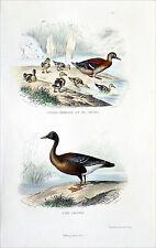 CHASSE: CANARD COLVERT & ses petits - OIE SAUVAGE - Gravure du 19e siècle