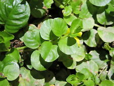 Seeds Lettuce Watercress Vest Wild Green Vegetable Organic Heilroom Ukraine