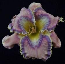 Debra Jorgensen Daylily SEEDS Perennial Flowers Ready to plant pattern eye