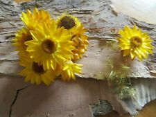Xerochrysum bracteatum Yellow Strawflower x 2 Heads  Paper Daisy 100= ++ =Seeds