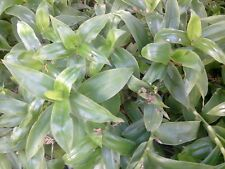 TRADESCANTIA ou Misère Plante/ Intérieur Ext / Résistante / Couleur eclatante x5