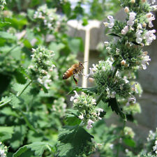 Catnip Herb Flower Heirloom Seeds - Non-GMO - Untreated - Open Pollinated!