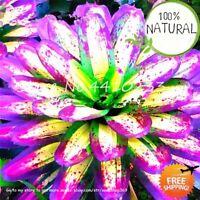 Bonsai Colorful Cactus Seeds Plants Bromeliad Tillandsia Bulbosa Air 100pcs
