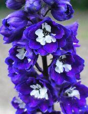 PURPLE SPIRE LARKSPUR Delphinium Consolida Ambigua, perennial, 25+ seeds