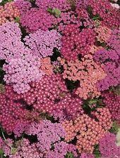50+ Summer Berries Mix Achillea Yarrow / Deer Resistant / Perennial Flower Seeds