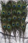 PEACOCK TAIL FEATHERS NATURAL 10-12INCH LONG FOR BOUQET MILLINERY CRAFT