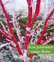 Acer Palmatum Sango Kaku (Senkaki- Corallinum)