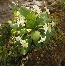 Fleurs sauvages Graines-Primevère - 40 graines