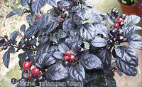 Chili BLACK PEARL schwarz * 10 Samen * für Balkon und  Zimmer * Paprika Geschenk