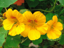 Seeds Creeping Nasturtium Golden Climbing Annual Flowers Balcony Organic Ukraine