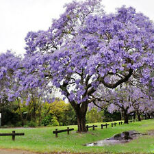 50pcs Jacaranda Tree Amazing Ornamental Mimosifolia Plant Seeds Home Decor Kit N