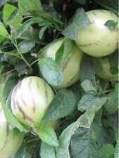Pianta di Pepino Pianta Esotica Pepino Melone arredo giardino frutto vaso 14