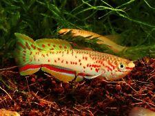 PAIR Gardneri Panchax Killi fish (Fundulopanchax gardneri) KILLIFISH